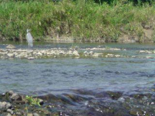 20100912青鷺.JPG