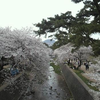 夙川の桜.JPG