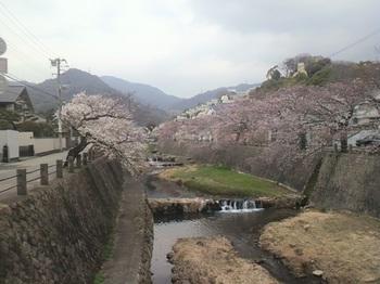 桜2013.JPG
